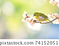 벚꽃과 동박새 74152051