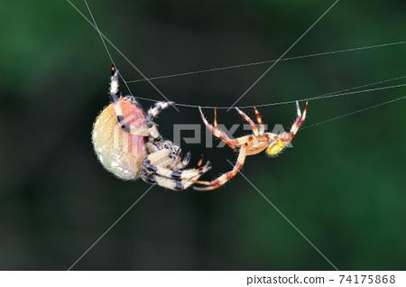 大理石球蜘蛛的繁殖行為(北海道鶴井村) 74175868
