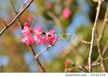 台灣山櫻(Prunus campanulata Maxim)希坎櫻(Yamasakura) 74181279