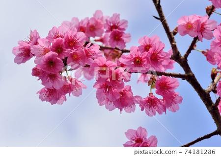 台灣山櫻(Prunus campanulata Maxim)希坎櫻(Yamasakura) 74181286