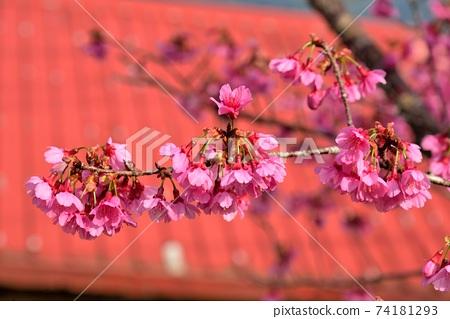 台灣山櫻(Prunus campanulata Maxim)希坎櫻(Yamasakura) 74181293