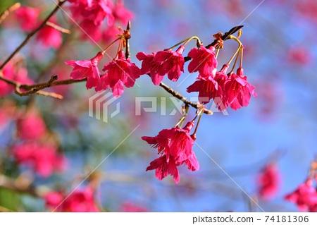 台灣山櫻(Prunus campanulata Maxim)希坎櫻(Yamasakura) 74181306