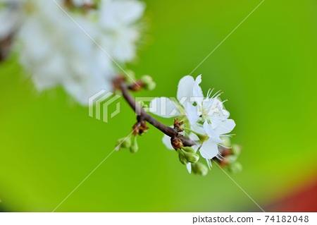 冬天開花的白色李花 74182048