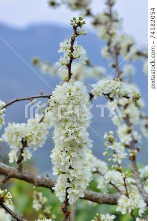 冬天開花的白色李花 74182054