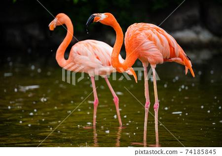 動物火烈鳥 74185845