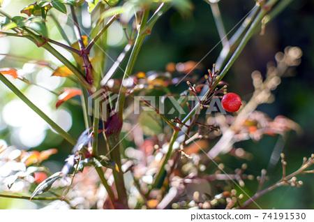 南天:只剩下一個紅色水果 74191530