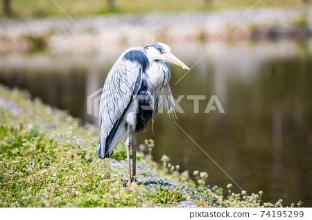 公園鳥 74195299