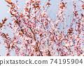 Red cherry blossom, blue sky, spring concept 74195904