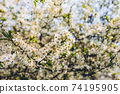 Blooming cherry tree branch, early spring concept 74195905