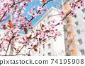 Red cherry blossom, blue sky, spring concept 74195908