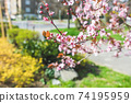 Red cherry tree branch, on the city street 74195959