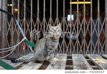 grey tabby cat is  looking  74200587