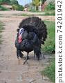 土耳其火雞(公)2 74201942