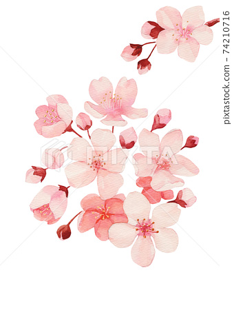 粉色櫻花水彩 74210716