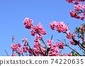 猩紅色的櫻花,有著美麗的粉紅色(沖繩縣) 74220635