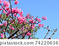 猩紅色的櫻花,有著美麗的粉紅色(沖繩縣) 74220636