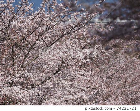 在盛開的櫻花樹 74221721