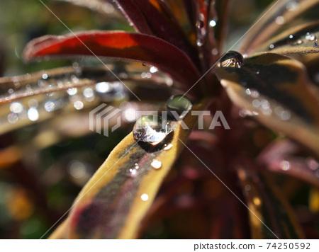 雨珠宏觀射擊在葉子留下美麗是因為它反射了陽光。 74250592