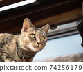 Kijitora stray cat sitting on a wall 74256179