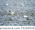 Beautiful swans in Kitaura flying from the surface of the water 74260049