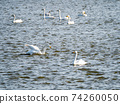 A flock of beautiful swans in Kitaura 74260050