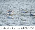 Kitaura's beautiful swans family 74260051