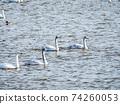 Kitaura's beautiful swans family 74260053