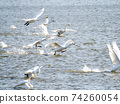 Beautiful swans in Kitaura flying from the surface of the water 74260054