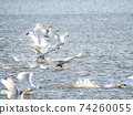 Beautiful swans in Kitaura flying from the surface of the water 74260055