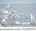 Beautiful swans in Kitaura flying from the surface of the water 74260056