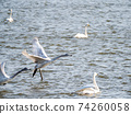 Beautiful swans in Kitaura flying from the surface of the water 74260058