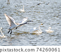Beautiful swans in Kitaura flying from the surface of the water 74260061
