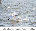 Beautiful swans in Kitaura flying from the surface of the water 74260062