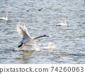 Beautiful swans in Kitaura flying from the surface of the water 74260063