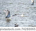 Beautiful swans in Kitaura flying from the surface of the water 74260065
