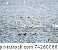 A flock of beautiful swans in Kitaura 74260066