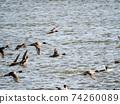 Kitaura ducks flocking on the surface of the water 74260089