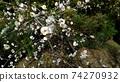 垂李的白花已經開始開花 74270932