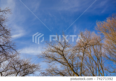 早春櫻桃樹與腫脹的芽 74271392