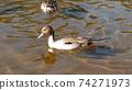 來到Inage海濱公園池塘的Wigeon 74271973