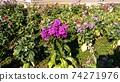 長花股票紫色花 74271976