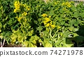 Nabana的黃色花朵已經開始開花 74271978