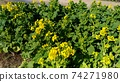 Nabana的黃色花朵已經開始開花 74271980