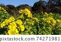 Nabana的黃色花朵已經開始開花 74271981