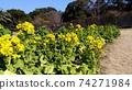 Nabana的黃色花朵已經開始開花 74271984