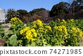 Nabana的黃色花朵已經開始開花 74271985