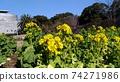 Nabana的黃色花朵已經開始開花 74271986