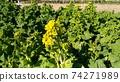 Nabana的黃色花朵已經開始開花 74271989