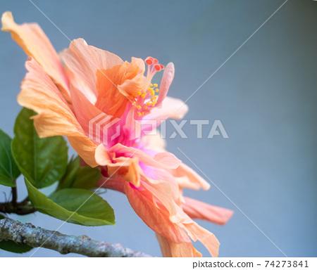 芙蓉花盛開在沖繩島 74273841