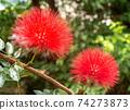 Calliandra haematosus花在沖繩開花美麗的花在沖繩的亞熱帶開花 74273873